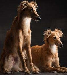 Silken Windsprite (American Hound) Photographer: Paul Croes