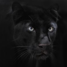black panther: Panther is secretive, silent, and graceful in her every move. She is solitary by choice, she tells little though listens much. She is careful not to share too much information, only enough to ease curious minds