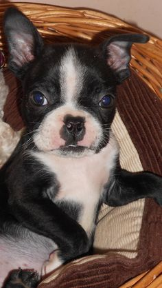 7 week old Boston Terrier puppy