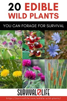 Foraging for edible wild plants is an invaluable skill for preppers as survival will often depend on eating what's available. Lucky for you, the wild is a garden of free edibles waiting to be harvested as long as you know what to go for. #wildedibleplants #edibleplants #survivalfood #survival #preparedness #survivallife Survival Life, Survival Food, Wilderness Survival, Outdoor Survival, Emergency Preparedness, Survival Skills, Outdoor Shelters, Edible Wild Plants, Harvest