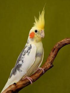 Onde comprar calopsitas? Veja as dicas de criatórios onde você pode comprar calopsitas e outras aves