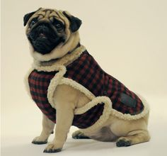 Mulberry's Autumn/Winter 2009 collection modeled by Hogey from Battersea Dogs & Cats Home in London. Pugs, Most Cutest Dog, Battersea Dogs, Pet Fashion, Dog Sweaters, Cute Animal Pictures, Pug Love, Dog Coats, Pet Clothes