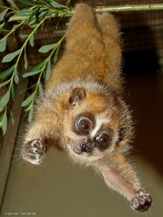 Hug me! OH. MY. GOSH. I really just wanna take this slow loris home because he is precious and my favorite animal :(
