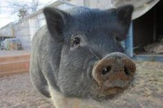 Meet Harry, a Vietnamese Pot Bellied & Pot Bellied Mix Pot Bellied for adoption, at VegasPigPets in Las Vegas, NV on Petfinder. Learn more about Harry today. Pot Belly Pigs, This Little Piggy, Horse Farms, How To Be Outgoing, Las Vegas, Adoption, Pets, Kisses, Freedom