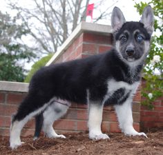 Gerberian Shepsky Boy.   Born 10-9-12.  Hybrid cross between German Shepherd & Siberian Husky.