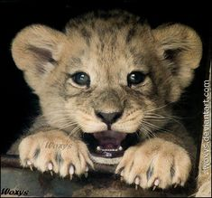 Baby male Barbary lion for ~amrodel as a late present and also an attempt to attract her to visit this ZOO with me ZOO visits might prepare nice surpris. Baby Animals Super Cute, Cute Little Animals, Cute Funny Animals, Cute Cats, Big Cats, Beautiful Cats, Animals Beautiful, Lion Cub Tattoo, Carnivore