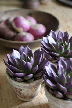 Purple Succulents Mehr