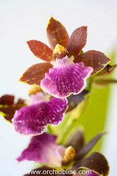 Zygopetalum orchids have a lovely fragrance and they are easy to grow. Learn how to grow this orchid and many other easy-growers. Orchid Plant Care, Orchid Plants, Air Plants, Orchid Roots, Orchid Leaves, Orchid Flowers, Orchids In Water, Indoor Orchids, Growing Orchids