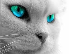 White Cat with Turquoise Eyes