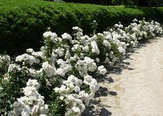 Iceberg Roses as Hedge - for sprawling hedge at street. let's hope those Piedmont deer don't decide this is Betty's Bakeshop, and line up down Proctor