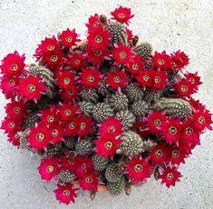 cactus.man