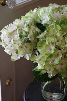 hydrangea magical noblesse