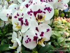Dalmatian Orchid - Phalaenopsis I-Hsin Dalmatian   Orchid - Phalaenopsis 'I-Hsin Dalmatian'