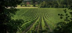 World-Class English Wine: Tasting and Tour for Two at Chapel Down Winery Chapel Down, Best Sparkling Wine, English Wine, Canopy And Stars, Run Tour, Famous Wines, Site Restaurant, East Sussex