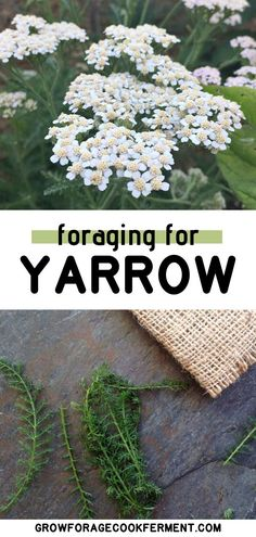 Yarrow is one of the most beneficial wild plants that there is. Foraging or wildcrafting for yarrow is easy and fun, you might even have some in your own backyard! Learn how to identify yarrow, and how to use it in your herbal medicine practice. Healing Herbs, Medicinal Plants, Natural Medicine, Herbal Medicine, Yarrow Plant, Edible Wild Plants, Herbal Cure, Wild Edibles, Hydroponic Gardening
