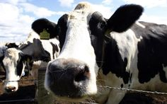 Meat and milk from the offspring of cloned animals could be on sale in British   supermarkets by the end of the summer, after attempts to impose controls through European regulation failed. By Andy Bloxham.  30 Mar 2011 6:20AM BST