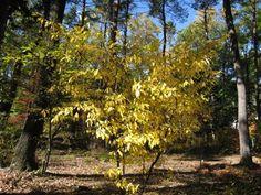 クロモジ:落葉低木。〜5m。半日陰