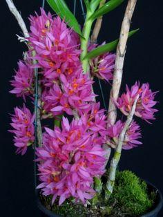 Colibri Orquídeas - Dendrobium bracteosum
