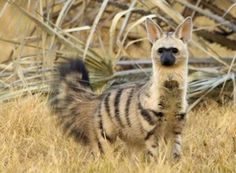 "The Aardwolf is a small, insectivorous mammal, native to East Africa and Southern Africa. Its name means ""earth wolf"" in the Afrikaans / Dutch language. The Aardwolf is in the Hyena family. Interesting Animals, Unusual Animals, Rare Animals, Cutest Animals, Wild Animals, Exotic Animals, Beautiful Creatures, Animals Beautiful, Tier Fotos"