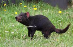 demonio de tasmania wikipedia - Buscar con Google