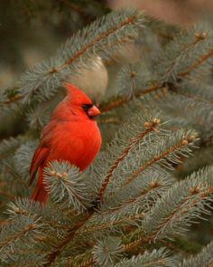 Cardinal Bird Nature Tree.....