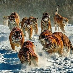 Tiger Herd | Photo By ©Zhouyousifang  #WildLives