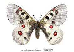 Gratis afbeelding op Pixabay - Apollo, Vlinder, Apollofalter