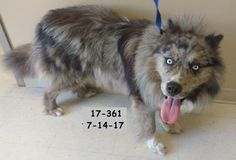 Meet Hannable, an adopted Australian Shepherd Mix Dog, from Perry County Animal Shelter in Cannelton, IN on Petfinder. Learn more about Hannable today. Unique Dog Breeds, Rare Dog Breeds, Popular Dog Breeds, Aussie Mix, Shepherd Mix Dog, Australian Shepherd Mix, Border Collie Mix, Animal Shelter, Corgi