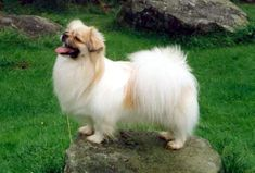 """Tibetan Spaniel is not a true spaniel; its breeding and role differs quite a bit. (Spaniels are gun dogs.) The spaniel name may have been given due to its resemblance to the bred-down lapdog versions of the hunting spaniels, such as the Cavalier King Charles Spaniel. The Tibetan Spaniels are also called """"Simkhyi"""", which means house dog, room dog or even bedroom dog. Nickname Tibbie"""