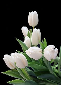 White tulips are the flowers to pick for an apology bouquet. If you need to say you are sorry, white flowers and maybe a gift of chocolate are a worthwhile gesture. White Tulips, Tulips Flowers, My Flower, Pretty Flowers, Spring Flowers, White Flowers, Planting Flowers, Flowers Pics, Purple Tulips