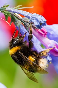 Love seeing Bumble Bees in my yard. They just go about their business.