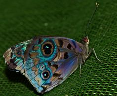 Colourful eyed butterfly (Eunica volumna)