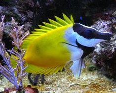 Foxface Rabbitfish,(Siganus vulpinus)Species Profile, Foxface Rabbitfish,(Siganus vulpinus)Care Instructions, Foxface Rabbitfish,(Siganus vulpinus)Feeding and more.::Aquarium Domain.com