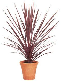 Cordyline australis - Image 12 of 45 plants for full sun, drought tolerant container gardens. DIY curb appeal, landscape design & flower pots.