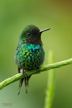 Green Thorntail by Chris Jimenez ------------------------------------------------ Green Thorntail is a species of hummingbird that is a resident breeder from Costa Rica to western Ecuador. Pretty Birds, Love Birds, Beautiful Birds, Animals Beautiful, Cute Animals, Small Birds, Little Birds, Colorful Birds, Green Birds