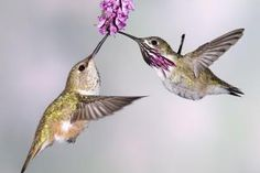 Female rufous hummingbird and male calliope - Tom Walker/Photographer's Choice RF/Getty Images