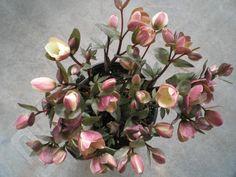 Lenten Roses... long lasting flowers, tolerates shade & deer resistant..... besides being beautiful! @Linda Fehlis