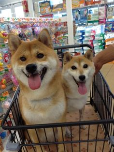Let's go shopping! We're ready! #dog #shibainu #shiba #柴犬 #cute