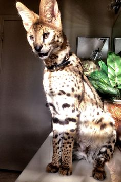 African Serval 6 months old.