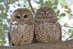 These Mexican Spotted Owls live on property at Los Alamos National Laboratory. #wildlife #birds #owls