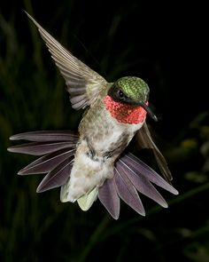 Come back to me Mr. Ruby Throated Hummingbird ... I die a little when you leave ...