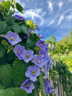 Blue Sky Flowers, properly named thunbergia grandiflora