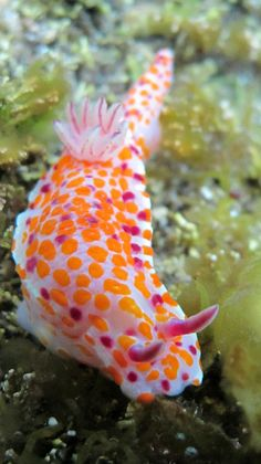 By Sylke Rohrlach Another Beautiful Sea Slug - Ceratosoma amoenum Beautiful Sea Creatures, Deep Sea Creatures, Animals Beautiful, Underwater Creatures, Underwater Life, Planeta Animal, Fauna Marina, Photo Animaliere, Salt Water Fish