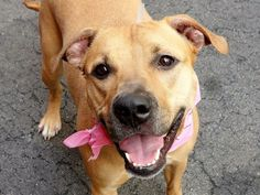 Gone but NOT forgotten- so sad, what a beautiful, happy pup.. TO BE DESTROYED 04/29/14 Manhattan Center  My name is AISHA. My Animal ID # is A0968316. I am a spayed female brown and white pit bull mix. The shelter thinks I am about 2 YEARS old.  I came in the shelter as a OWNER SUR on 04/21/2014 from NY 10452, owner surrender reason stated was CHILDCONFL.   https://www.facebook.com/photo.php?fbid=793979237281624&set=a.611290788883804.1073741851.152876678058553&type=3&theater