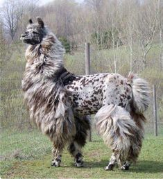 A handsome Appaloosa llama trimmed like a French poodle! Llamas' feet aren't like those of donkeys or horses. Each foot consists of a pad and two toenails that curve towards the ground. Farm Animals, Animals And Pets, Funny Animals, Cute Animals, Alpacas, Baby Llama, Cute Llama, Llama Llama, Funny Llama