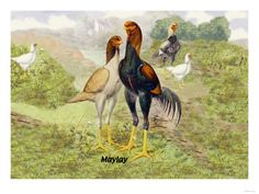 Malay Chickens
