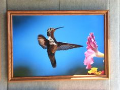 Large 16 by 24 Hummingbird photograph by CrazySwanPhotography