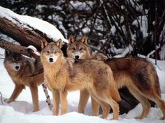 <3 <3 Superbe meute de loups bruns <3 <3
