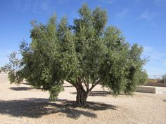 Olive tree. This is how precious olives grow