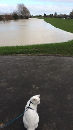 Misty on a walk to see the Manawatu flooding June 2015